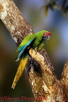 Buffon's Macaw in a tree