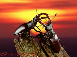 Stag Beetles at sunset