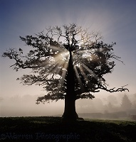 Sunbeams and oak tree