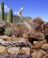 Rattlesnake striking