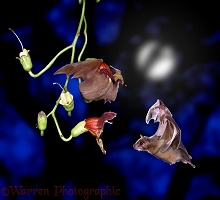Fruit bats with flowers