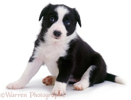 Cute Border Collie puppy