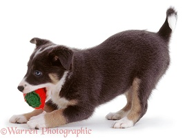 Playful Border Collie puppy