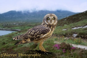 Short-eared Owl, South Uist
