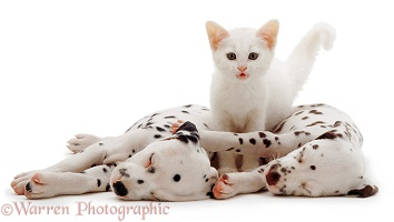 Sleeping Dalmatian pups and white kitten