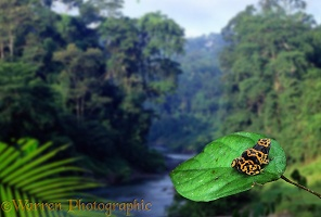 Poison arrow frog in rainforest