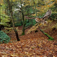 Tawny Owl in Beech woodland
