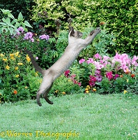 Leaping Siamese cat in garden