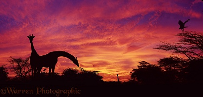 Giraffes at sunset in Kenya