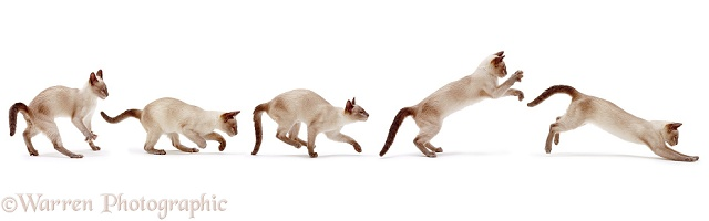 Siamese cat bounding multiple image