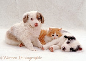 Kitten and two puppies lazing