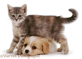 Kitten standing over lying puppy