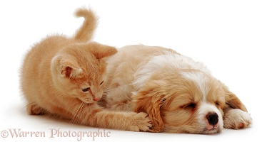 Ginger kitten playing with pup's ear