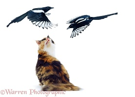 Cat being mobbed by magpies