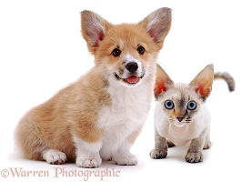 Corgi puppy and Rex cat
