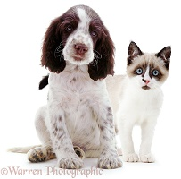 Springer Spaniel pup and Snowshoe kitten