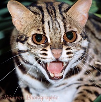 Margay snarling