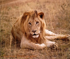Lion lounging on dry grass