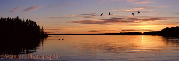 Whooper Swans on lake at sunset