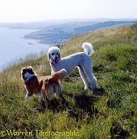 Border Collie & Poodle on a cliff top