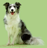 Blue Merle Collie on green