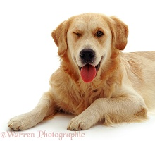 Golden Retriever dog winking