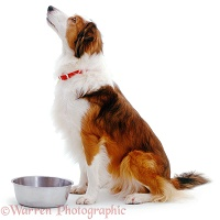 Border Collie and metal bowl