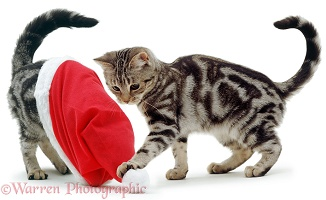 Silver tabby kittens playing with a Santa hat