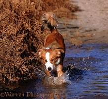 Border Collie bitch running through water