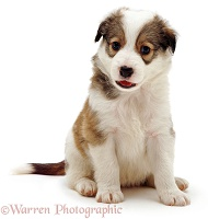 Cute Border Collie puppy sitting