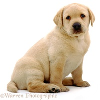 Yellow Labrador pup