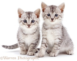 Silver spotted kittens