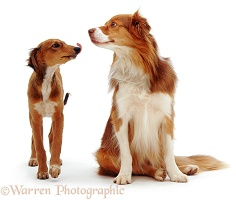 Lurcher pup greeting Border Collie dog