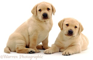 Yellow Labrador pups