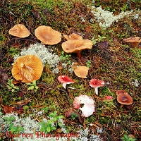 Toadstools on pine forest floor