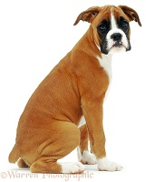 Boxer puppy, sitting