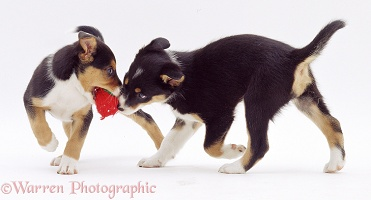 Border Collie pups fighting over a toy