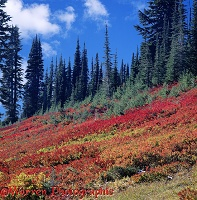 Autumn colours at Mt. Rainier