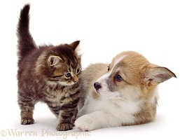 Corgi puppy and kitten