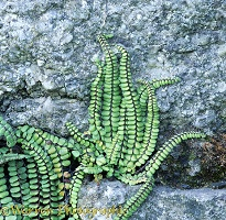 Fern on granite wall