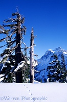 Mt. Shuksan, snow, & trees
