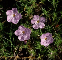 Spreading Phlox with dew