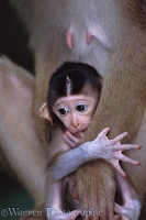 Baby Pig-tailed Macaque