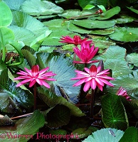 Lotus flowers at Danum Valley