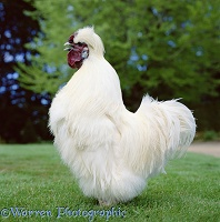 White Silkie Cockerel crowing