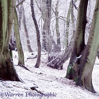 Beech woodland - Winter