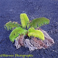 Fern on Lava