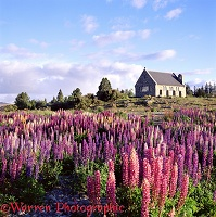'Feral' lupines with church behind