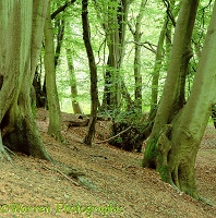 Beech woodland - Summer