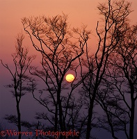 Sunset behind beech trees